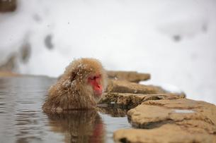 温泉に入るニホンザルの写真素材 [FYI04022583]