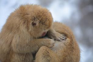 毛づくろいするニホンザルの写真素材 [FYI04022585]