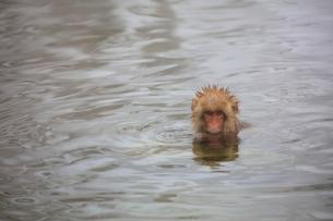 温泉に入るニホンザルの写真素材 [FYI04022594]