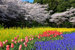花畑と桜の写真素材 [FYI04022603]