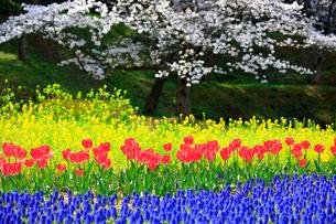 チューリップと桜の写真素材 [FYI04022609]