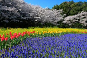 花畑と桜の写真素材 [FYI04022626]