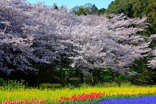 チューリップと桜の写真素材 [FYI04022634]