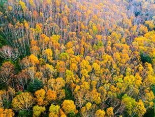 志賀高原の紅葉した樹林 ドローン空撮の写真素材 [FYI04022901]