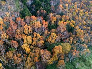 志賀高原の黄葉した樹林 ドローン空撮の写真素材 [FYI04022902]