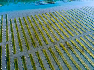 浜名湖の海苔棚 ドローン空撮の写真素材 [FYI04023053]