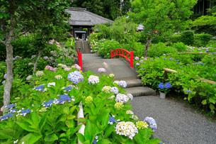 アジサイ咲く極楽寺の写真素材 [FYI04023167]