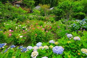 アジサイ咲く極楽寺の写真素材 [FYI04023183]