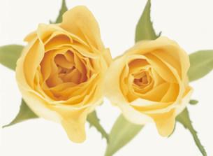 黄色いバラの写真素材 [FYI04023348]