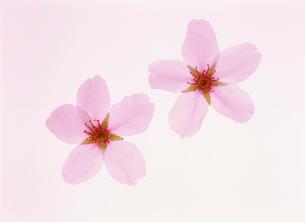 桜の花の写真素材 [FYI04023357]