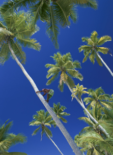 ヤシの木登り キリバス共和国の写真素材 [FYI04023568]
