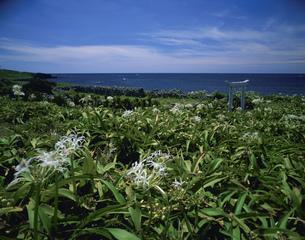 ハマユウ咲く角島の写真素材 [FYI04023725]