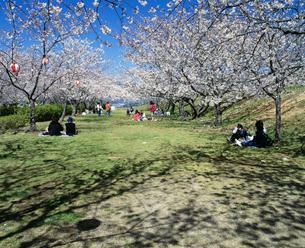 桜の戦場ヶ原公園の写真素材 [FYI04023739]