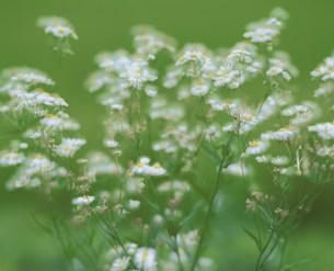 花の写真素材 [FYI04023742]