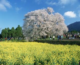 一心行桜の写真素材 [FYI04023779]