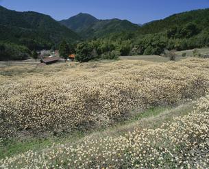 ミツマタの花の写真素材 [FYI04023790]