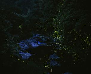 ホタルの写真素材 [FYI04023805]