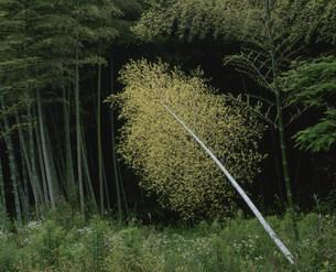 竹の写真素材 [FYI04023815]