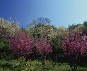 春爛漫の写真素材 [FYI04023840]