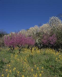 春爛漫の写真素材 [FYI04023842]