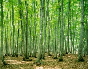 松之山町の名所 美人林の新緑の写真素材 [FYI04025925]