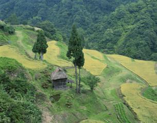 稲穂色づく松之山の棚田風景の写真素材 [FYI04025929]