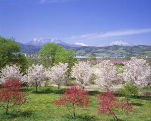 桜咲く千曲川と北信濃の山々の写真素材 [FYI04025952]