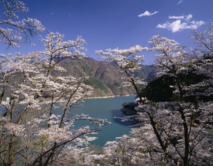 桜咲く春の奥多摩湖の写真素材 [FYI04025963]