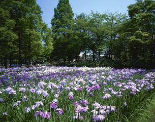 菖蒲咲く綾瀬しょうぶ沼公園の写真素材 [FYI04025965]