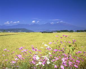 コスモス咲く秋の佐久地方から望む浅間山の写真素材 [FYI04025976]