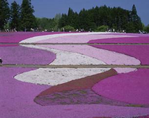 羊山公園の芝桜の写真素材 [FYI04026000]