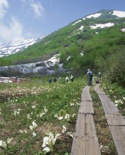 ミズバショウ咲く栂池自然園の写真素材 [FYI04026001]
