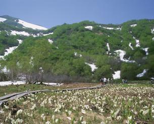 ミズバショウ咲く栂池自然園の写真素材 [FYI04026002]