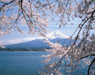 河口湖の桜と富士山の写真素材 [FYI04026006]