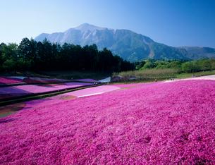 羊山公園の芝桜と武甲山の写真素材 [FYI04026013]