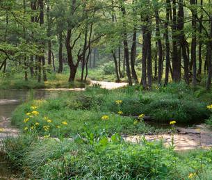 サワオグルマ咲く小川 小野川湖付近の写真素材 [FYI04026015]