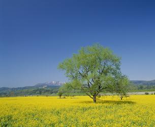 千曲川河川敷の菜の花畑と斑尾山の写真素材 [FYI04026021]