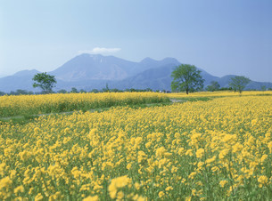 千曲川河川敷の菜の花と高社山の写真素材 [FYI04026025]