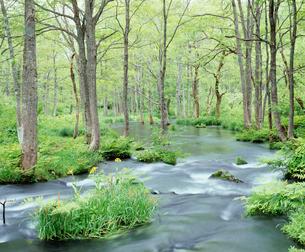 サワオグルマ咲く初夏の長瀬川 裏磐梯の写真素材 [FYI04026036]