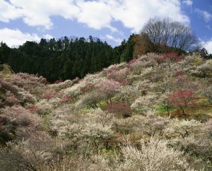 春の吉野梅郷 青梅市梅の公園の写真素材 [FYI04026040]