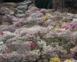 青梅市梅の公園を高台より見るの写真素材 [FYI04026041]