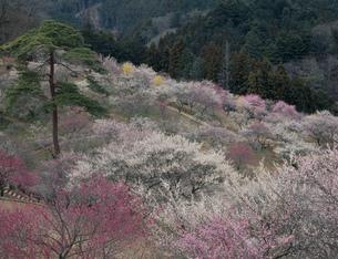 春の吉野梅郷 梅の公園の写真素材 [FYI04026042]