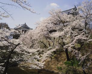 上田城跡公園の桜の写真素材 [FYI04026046]
