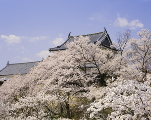 上田城跡公園の桜の写真素材 [FYI04026047]