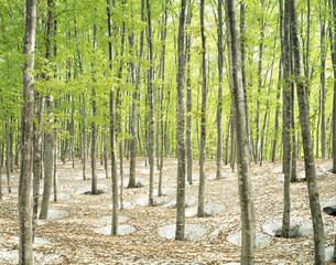 新緑の松之山美人林の写真素材 [FYI04026057]