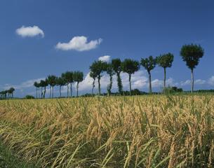 新潟名物のハサ木と実る稲穂の写真素材 [FYI04026065]