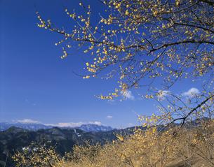 宝登山のろう梅と両神山 長瀞町の写真素材 [FYI04026072]