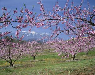 新府の桃畑と南アルプス  韮崎市の写真素材 [FYI04026073]
