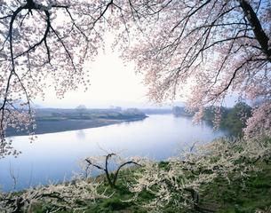 千曲川と桜の写真素材 [FYI04026088]