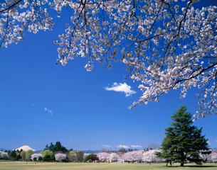 桜咲く昭和記念公園から望む富士山の写真素材 [FYI04026090]